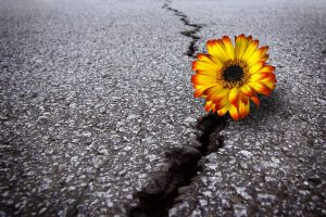 Yellow flowersits on a crack in the pavement